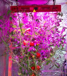 Growing Tomatoes Indoor